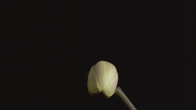 T/L, CU, Orchid (Phalaenopsis) opening against black background