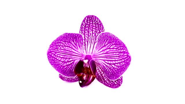Orchidee auf weißem Hintergrund