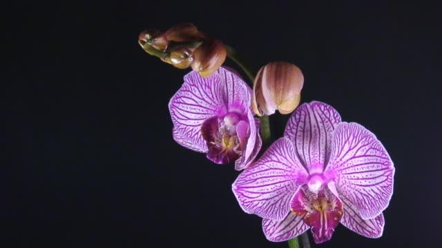 Orchid Mother Eröffnung