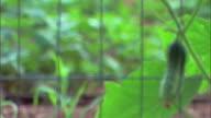 Organic cucumber garden