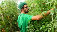 MS Organic farmer harvesting organic tomatoes in greenhouse