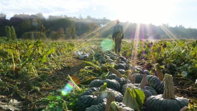 MS LA Organic farmer walking through squash field during harvest on fall morning rear view