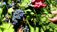 Organic Shiraz Grape Harvesting Okanagan Valley