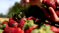 organic strawberries harvest