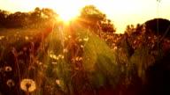 Organic Sunbeam Meadow