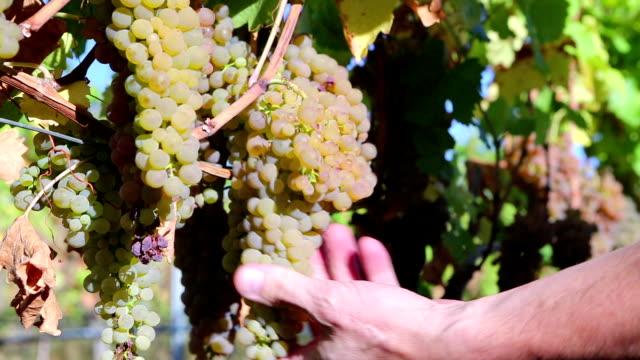 Organic Viognier Grape Harvesting