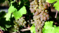 Organic Viognier Grape