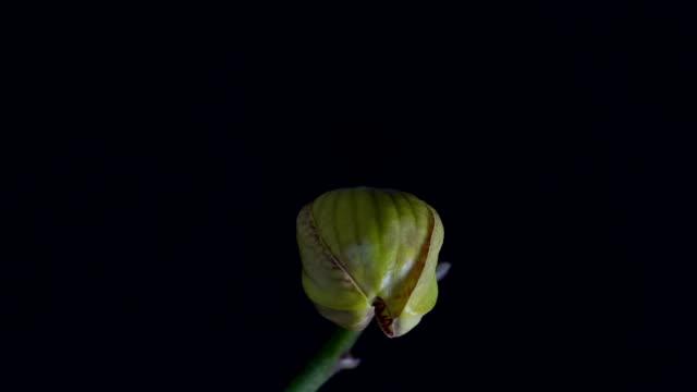 Orhid erblühen