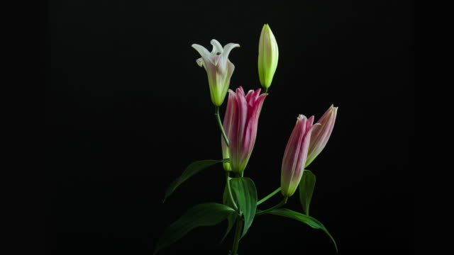 Oriental Lilies rotating in a vase as the flowers open into a magnificent blossom.