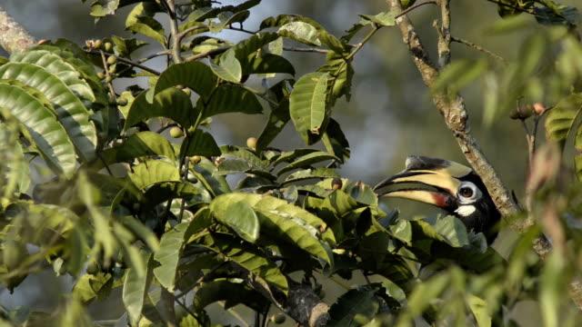 Oriental pied hornbill(Anthracoceros albirostris)