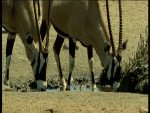 Oryx drink at waterhole, Namibia