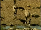 Oryx drinking at waterhole is joined by two others, Namibia