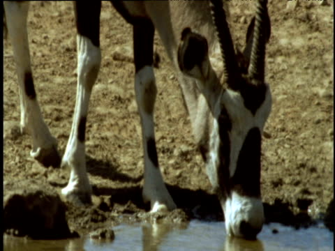Oryx drinks from waterhole, Namibia