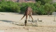 Oryx jirafas y guepardos deambulan por el arca de Noe arabe una reserva natural en una isla de los emiratos arabes donde las especies una vez en...