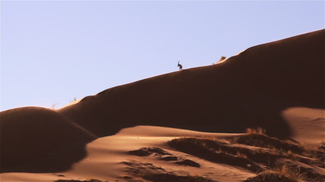 Oryx on top of a dune