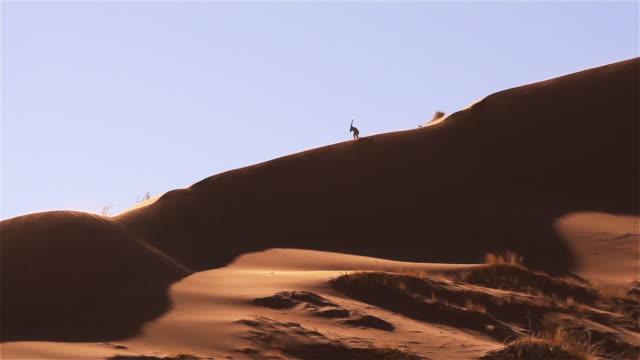 Oryx auf der Düne