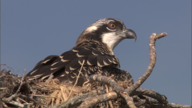 Osprey (Pandion haliaetus) chick looks around in nest, Yellowstone, USA