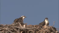 Osprey (Pandion haliaetus) chicks look around in nest, Yellowstone, USA