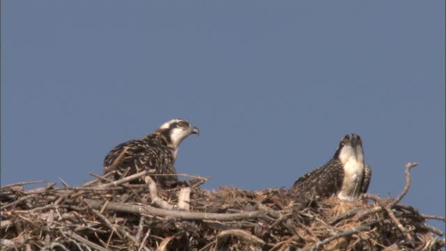 Osprey (Pandion haliaetus) chicks look around in nest, Yellowstone, USA