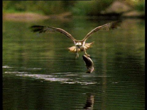 Osprey flies at camera, carrying large fish, UK