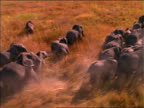 AERIAL over herd of elephants running in grass