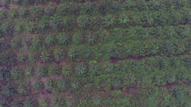Overhead fly by of vegetation growing on a palm oil plantation and burnt vegetation next to a palm oil plantation in this aerial video taken in Ogan...