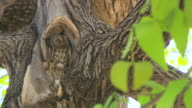 MS Owl camouflaged in inbetween tree at entabeni Private Game Reserve / Limpopo, South Africa