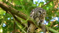 Owl on a branch, eating a squirrel