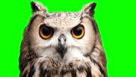Owl on chromakey screen
