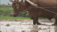 Oxen pulls man on wooden platform through paddy field to level out the mud, Qinling, China