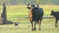 MS PAN Oxes walking on grass field / Venezuela