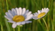 R/F Oxeye daisies on the meadow