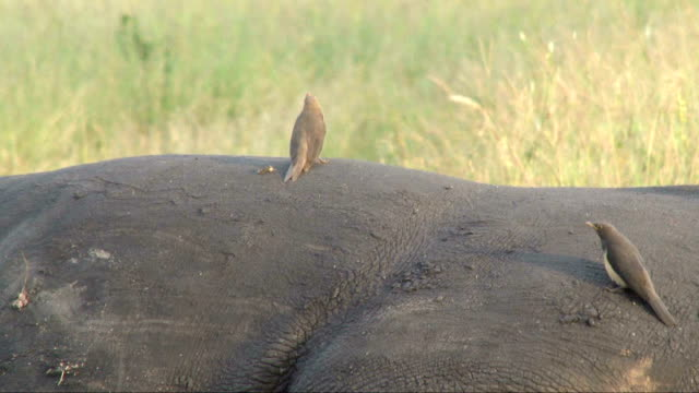 Oxpecker on rhino back/ South Africa