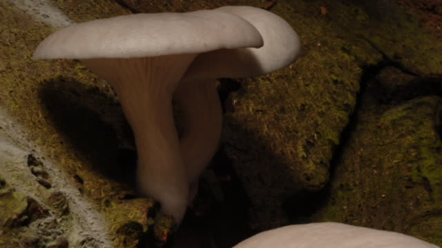 Oyster mushrooms grow from tree bark. Available in HD.