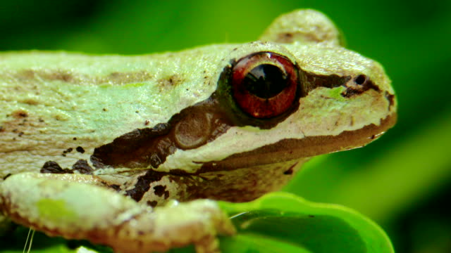 Pacific Tree frog Close up