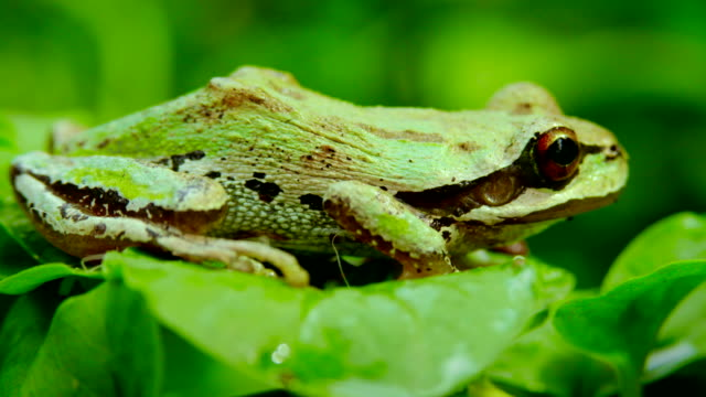 A Pacific Tree Frog jumping
