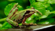 Pacific Tree Frog sitting