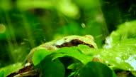 Pacific_Tree_Frog_rain