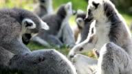 Pack of Lemurs