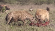 Pack of spotted hyenas scavenge kill. Available in HD.