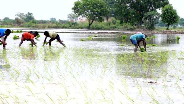 Paddy Crop Plantation