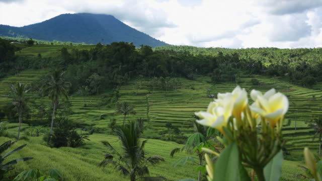 WS Paddy field terraces growing rice with Mount Batukaru in the distance