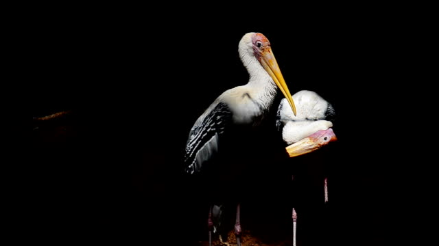 Painted stork birds