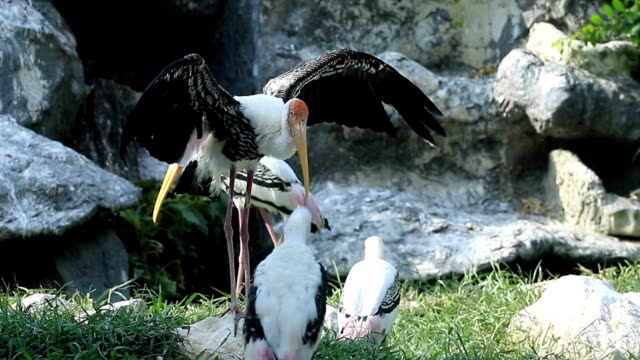 Painted Stork Relaxing