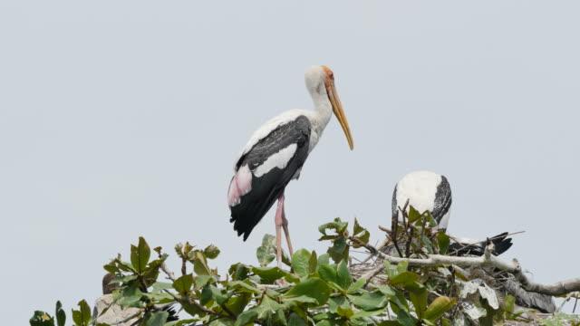 Painted Storks on tree.