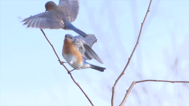 WS Pair eastern bluebirds fly to perch on branch / Tweed, Ontario, Canada