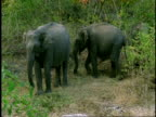 MS pair of Asian Elephant, Elephas maximus, Western Ghats, India