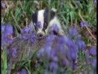 Pair of badgers in bluebell wood, UK