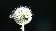 Pair of bees pollinating a blue globe-thistle