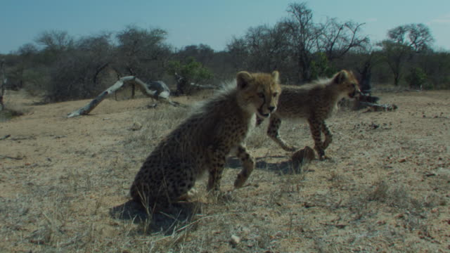 A pair of cheetah cubs meander towards a shady area. Available in HD.